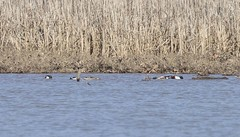 NORTHERN SHOVELERS (nsxbirder) Tags: northernshoveler cowanlake clarksville ohio clintoncounty
