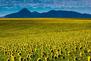 sunflowers and Sleeping Ute Mnt