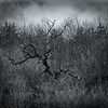 The Tree (DP the snapper) Tags: fingers rodgehill tree monochrome
