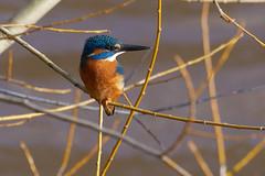 Martin-pêcheur d'Europe - Alcedo atthis - Common Kingfisher (Alain-46) Tags: martinpêcheurdeurope alcedoatthis commonkingfisher coraciiformes alcédinidés sundaylights