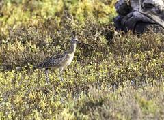 Long-Billed Curlew (PrettyCranium) Tags: bird birds animal animals nature wildlife san diego curlew long billed longbilled