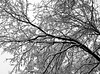 Snow Day (pjpink) Tags: snow snowcovered snowy rvasnow rvasnow2017 branches limbs trees blackandwhite bw monochrome northside rva richmond virginia december 2017 winter pjpink 2catswithcameras