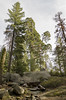 Grants Grove (rschnaible (Not posting but enjoying your posts)) Tags: kings canyon national park grants grove california west western us usa outdoor botanical landscape general grant tree giant sequoia