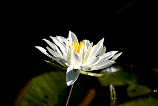 White water lily on black water
