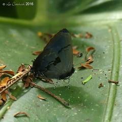 Calycopis centoripa - male (LPJC) Tags: villacarmen manu peru 2016 lpjc butterfly hairstreak