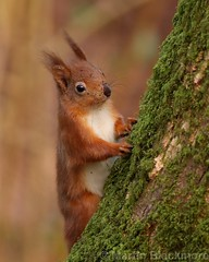Red Squirrel 7388(6D3) 8x10 (wildlifetog) Tags: red southeast squirrel alverstone isleofwight uk mbiow martin blackmore britishisles britain wild wildlifeeurope wildlife canon england european eos6d nature