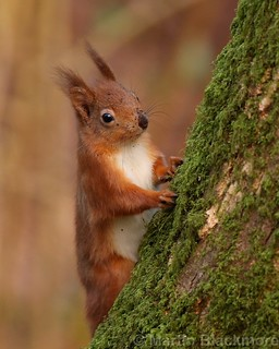Red Squirrel 7388(6D3) 8x10