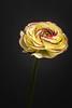 Ranunculus asiaticus (stevepe81) Tags: makro macro pflanze zeiss1670f4 ranunkel blume godox sonyalpha6300 blitz