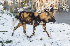 African wild dog trotting through the snow. (carolinezy) Tags: gaiazoo animals gaiapark kerkrade gaia zoo dieren dierentuin animal snow winter netherlands nederland wintery cute african wild dog afrikaanse wilde hond