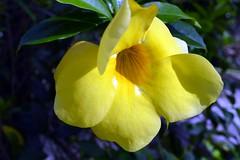 WOL Calauan Laguna Philippines Day 6 (219) (Beadmanhere) Tags: philippines flowers