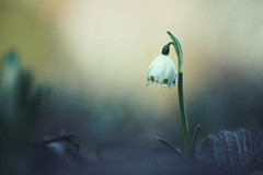 the awakening (christian mu) Tags: flowers bokeh nature winter germany muenster münster macro botanicalgarden botanischergarten schlossgarten christianmu sony sonya7riii sonya7rm3 9028g 9028 90mm