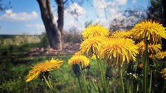 Last spring... (sanDr.a.92) Tags: spring dandelion yellow flower tree sky nature