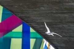 "Abstract Gull (CJH Natural) Tags: blackheadedgull seagull gull abstract colour color nature ""nature photography"" ""natural wildlife ""wildlife light licht wild natur remerschen river water lake bridge cladding bif birdinflight flying fly"