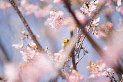 _DSC0751.jpg (plasticskin2001) Tags: mejiro sakura flower bird