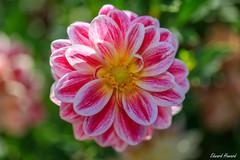 Petal perfection (edzwa) Tags: sydney newsouthwales australia au pinkflower flowers flower closeup macroflower macro canon6dmarkii canon100mmf28lmacro garden beautiful