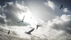 Happiness For Everybody, Free (gorelin) Tags: sun birds seagulls skies 28mm a7ii sony pomerania sopot pomorze poland polska fe28f20 ilce7m2 alpha