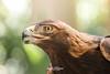 Tonka (ToddLahman) Tags: animalambassador tonka golden goldeneagle eagle beautiful bird birds sandiegozoosafaripark safaripark escondido canon7dmkii canon canon100400 closeup portrait profileheadshot profile