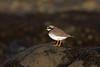 Common Ringed Plover, Ruddons Point, Fife, Scotland (Terathopius) Tags: largobay fife scotland unitedkingdom uk greatbritain gb commonringedplover charadriushiaticula ruddonspoint