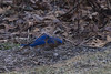 Eastern Bluebird (brucetopher) Tags: bluebird bird birds blue colorful color catchy winter birding birdwatching watch