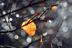 ...the last leaf (ej - light spectrum) Tags: makro macro olympus omd em5markii mzuiko leaf blatt winter bokeh 2017 december dezember schweiz switzerland nature natur morning morgen sunlight sonnenlicht