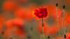 PAPAVER - poppy - klaproos (de_frakke) Tags: vurig rood passie klaproos coquelicot moppies poppy red passion flowers bokeh dof papaver