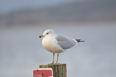 Ring-billed Gull (Neal D) Tags: bc surrey crescentbeach blackiespit bird gull ringbilledgull larusdelawarensis