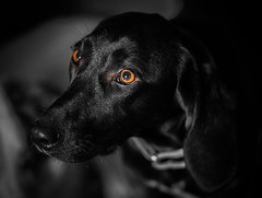 Beautiful Bonnie (Paul`s dog photography) Tags:
