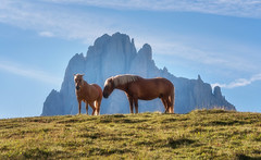 Horses in the Dolomites (Dreamy Pixel) Tags: adige alm alpe alpine alps alto animal background beautiful beauty bloom blue clouds di dolomites dolomiti europe european flowers green haflinger high horse horses italy landmark landscape meadow mountain mountains nature outdoor paradise pasture rock schlern sciliar seiser seiseralm siusi sky south summer sunny tourism travel trentino typical tyrol up