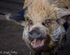 on an animal farm (JosjeToby) Tags: animal farm farmanimals animals ameland netherlands netherland nederland sonya6000