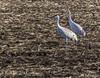 Sandhills and Red-winged Blackbirds (Greatest Paka Photography) Tags: redwingedblackbird sandhillcrane isenbergcranereserve reserve lodi sanjoaquinvalley gruscanadensis agelaiusphoeniceus crane marsh wetland