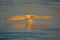Snowy Owl (fsong) Tags: snowy owl