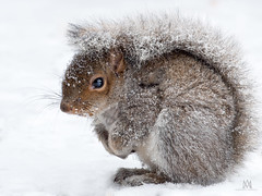 little grey (marianna_armata) Tags: p1830636 grey squirrel animal furry cute snow falling winter montreal quebec canada panasonic lumix canon zoom metabones