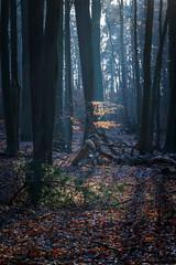 Kleine Buche im Licht (Petra Runge) Tags: wald bäume baum buchen laub natur landschaft woodland nature tree beeches