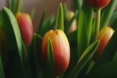 Peach (rachael_lea) Tags: tuliptulips flower flowers yellow red orange green tulpen