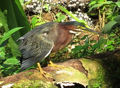 Waiting by the stream - Green heron (Butorides virescens), Costa Rica, Dec 2016 (Judith B. Gandy (on and off, off and on)) Tags: butorides herons aves birds butoridesvirescens costarica greenherons