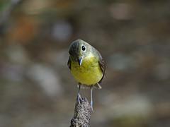 Green-backed Flycatcher (WilliamPeh) Tags: olympus omd em1 birds birding wild wildlife explore green backed flycatcher