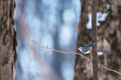 Sitelle à poitrine blanche - (EXPLORE) (www.sophiethibault.ca) Tags: oiseaux canada laval boiséstedorothée québec nature arbre ciel bird whitebreastednuthatch sitelleàpoitrineblanche sitelleàpoitrinerousse