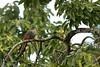 Pájaro Bobo / Hispaniolan lizard cuckoo  (Coccyzus longirostris) (Gogolac) Tags: aves birdphotography birdie birds canon7dmii coccyzuslongirostris cucolagarterodelaespañola fauna hispaniolanlizardcuckoo birdspot birdingrd birdsspotters pájarobobo republicadominicana tacot santodomingoeste pajarobobo endemicasdelahispaniola avesendemicasderepublicadominicana