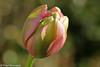 """""""enjoying the sunlight"""" - French Tulip (Fred / Canon 70D) Tags: tulip tulp spring spring2018 fransetulp canon canon70d canoneos bokeh ef100mmf28lmacroisusm closeup macro eefde"""