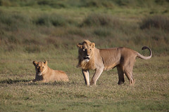 King and Queen (ashockenberry) Tags: lion lioness nature naturephotography wildlife wildlifephotography mane safari ashleyhockenberryphotography grassland feline cat africa travel tourism
