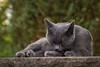 Körperpflege (Jana`s pics) Tags: cat katze grau grey green haustier pet tier animal hauskatze domestic greycat grauekatze outdoor drausen garten garden catmoments