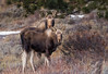 Rocky Mountain Moose (Amy Hudechek Photography) Tags: moose calf mother bull rocky mountain national park rmnp animal wildlife winter march estes amyhudechek nature colorado nikon200500f56 nikond810