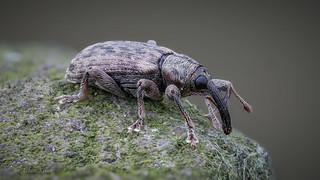 Dieser Rüsselkäfer (Curculionidae) hat sein Winterversteck schon verlassen - Größe 4 mm