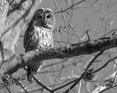 Bard the Owl (eatkisson) Tags: barredowl owl huntleymeadows blackandwhite bnw