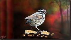 House Sparrow (jawadn_99) Tags: housesparrow sparrow cheeks bird species brown fauna explore grouptripod coth5