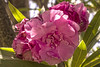 Pretty in Pink (Wal Wsg) Tags: prettyinpink 7dwf crazytuesdaytheme pink rosa phwalwsg canoneosrebelt3 flor flowers flower florflower flores naturaleza nature flowerpink florrosa