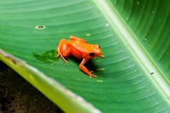 Madagascar-3016-_DSC2594 (beppevig) Tags: madagascar africa animali animals wild frog rana