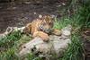 Rakan (ToddLahman) Tags: rakan sumatrantiger mammal male canon7dmkii canon canon100400 closeup portrait tiger tigers tigertrail tigercub escondido eyelock exhibita beautiful sandiegozoosafaripark safaripark