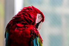 Greening Macaw, August 2013 (marylea) Tags: red feathers parrot zoo detroit detroitzoo aug16 2013 colors prettybird royaloak michigan greenwingmacaw macaw aviary detroitzoologicalpark zoologicalpark