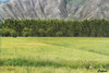 Fields - Tibet (cattan2011) Tags: 西藏 farms rapeseeds traveltuesday travelphotography travelbloggers travel naturelovers natureperfection naturephotography nature landscapephotography landscape tibet